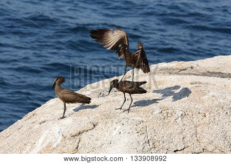 Hamerkop (Scopus umbretta) birds. One standing on another preparation to mate