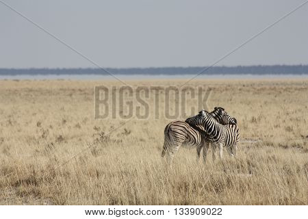 Two Zebras intertwined, mixing their stripes for camouflage