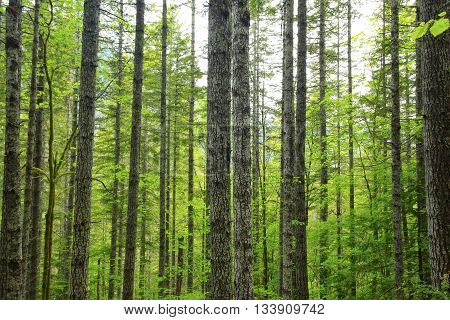a picture of an exterior Pacific Northwest grove of Douglas fir trees