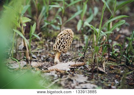 One morel outdoors in summer forest on the ground morchella mushroom in nature