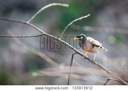 timid Common myna is walking on the ground