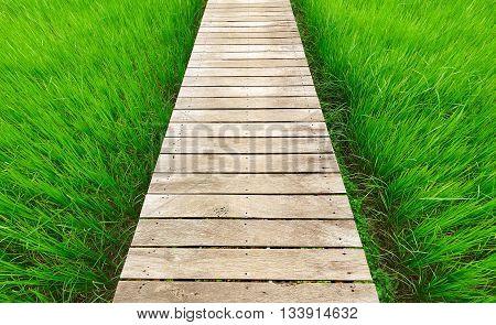 Wood bridge walkway along green rice field