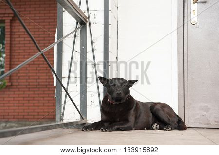 BLACK DOG IS WITH porch of the house, to guard the house, confident look DOGS