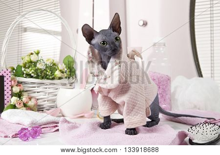 Two months old purebred Don Sphinx kitty cat dressed in pajama sitting on the table with some toiletries indoors