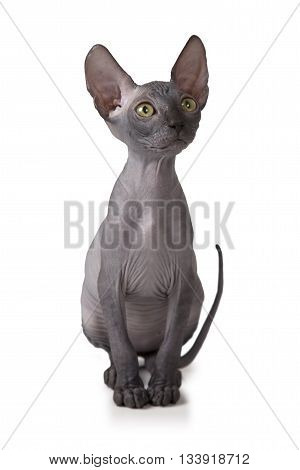 Two months old Don Sphinx kitty cat in studio isolated on white background