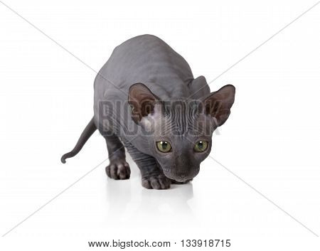 Two months old Don Sphinx kitten in a typical posture of a hunter isolated on white background