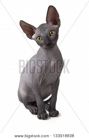 Two months old hairless Don Sphinx kitten isolated on white background