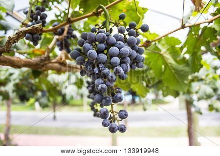 Grapes in a vineyard in the morning.