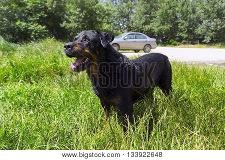 Big black wet dog - rottweiler in green grass