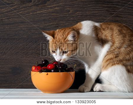 Cat sniffing cherry. The cat is white with red. Background dark wooden board. The cat examines berries