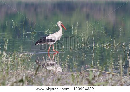 White stork on the river looking for food