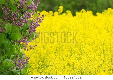 Pink lilac and yellow rape in spring