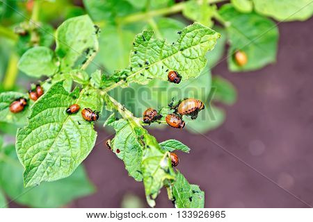 Orange larvae of Colorado potato beetle on potato leaves green