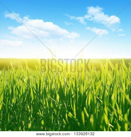 Green grass field, blue sky and sunlight.