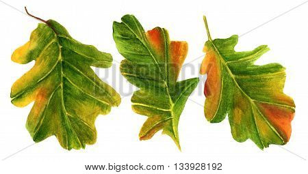 A set of green and yellow watercolor oak leaves hand painted on white background