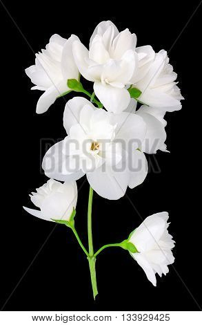 Branch of jasmine flowers isolated on black background. White jasmine flower. Jasmin branch with flowers isolate