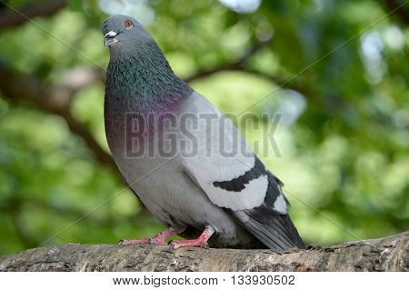 Blue-grey city pigeon on a tree branch in the Park.