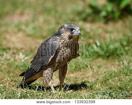 Juvenile Peregrine falcon (Falco peregrinus) sitting in grass in its habitat