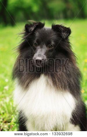 sheltie dog black and white nature summer close-up portrait