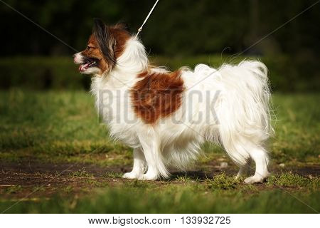beautiful dog breed Papillon is in the show position in the summer on the track