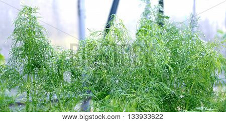 Green leaves of fennel plants in the greenhouse in drops of morning dew