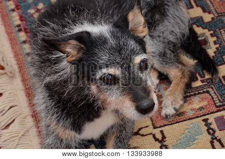 a old mongrel dog with black fur