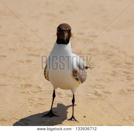 Gull Black headed Gull on a sandy beach