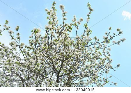 Apple tree flowers at cloud spring day.