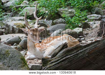 a deer sleeping in a rock forest