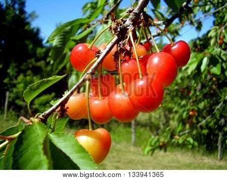 Close up of a bunch of red cherries suspended from a cherry tree branch