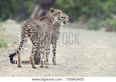 Two cheetah brothers walk in a road to look for prey