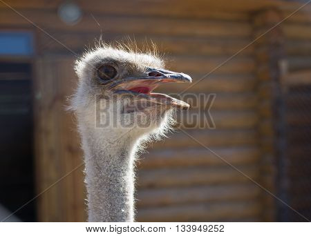 Ostrich head closeup on blur woden background