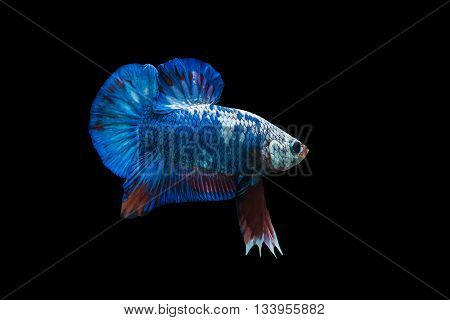Siamese fighting fish in aquarium isolate on black background