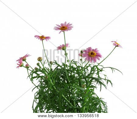 Little pink daisies, isolated on white