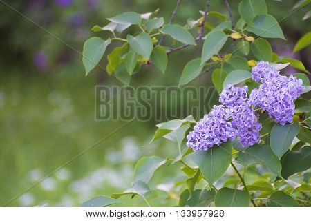 Lilac with delicate blossoms. Lilac flowers closeup. Spring mood with views of blooming lilacs.