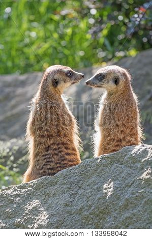 Pair of Meerkats is sitting on a rock in the upright position and look on each other: Vertically.