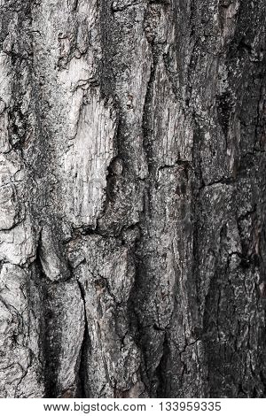 The bark of an old tree. The wooden background close. The texture of the bark of an ancient tree.