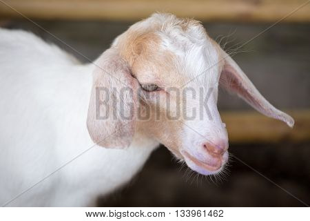 close up single white baby sheep face
