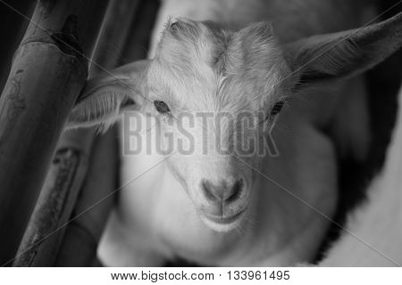 white baby sheep face with bamboo fence in black and white