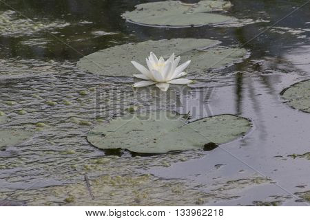 Waterlily In The Lake