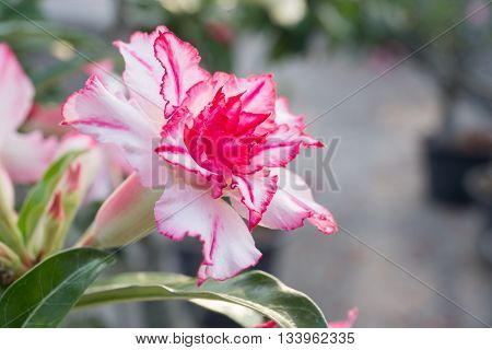 pink impala lily flower with green leaves