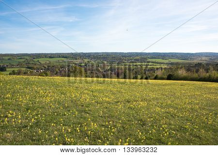 Hillside of yellow flowers looking across the Kent countryside