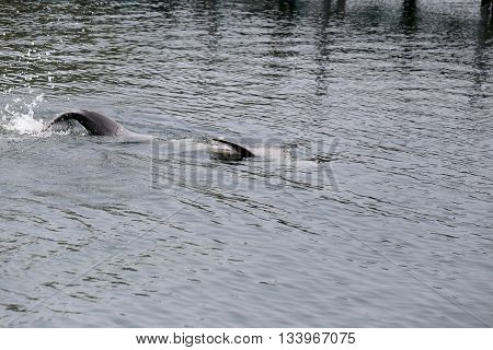 Dolphins is swimming water in the sea for the design animal background.