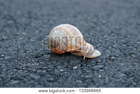 snail trail on asphalt single snail. A close up