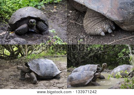 Collage of the amazing Giant Galapagos Tortoise