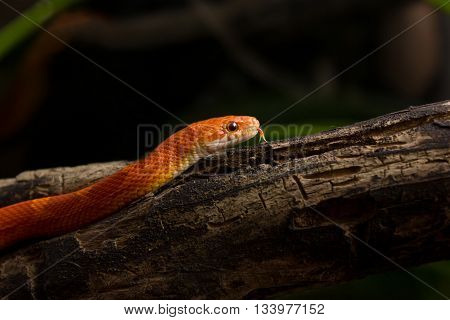 Hypo Bloodred Corn Snake