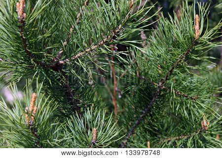 beautiful green pine branches of pine tree with long needles foreground closeup