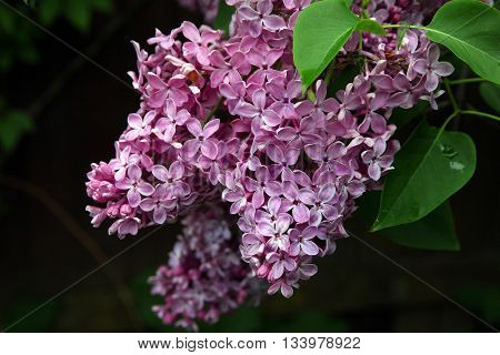 big beautiful good bunch of purple lilac flower with green leaves closeup foreground