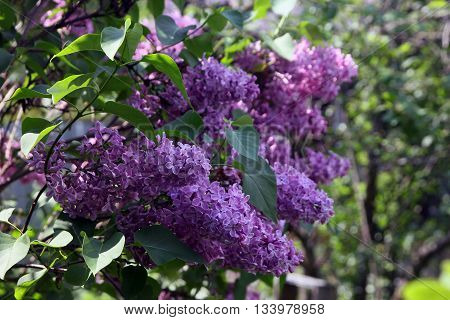 big beautiful good branch of purple lilac flower with green leaves closeup outside in sunny summer day