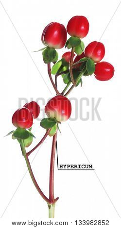 Branch of hypericum flower isolated on white